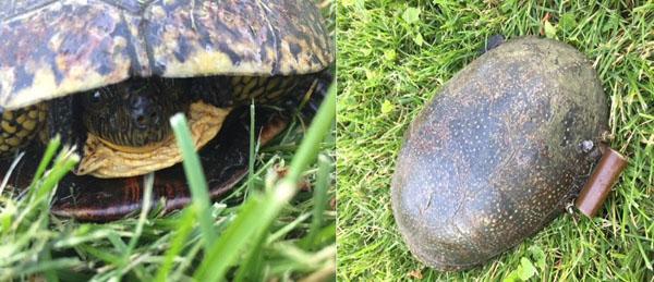 Blanding's Turtle by Tyler Temple
